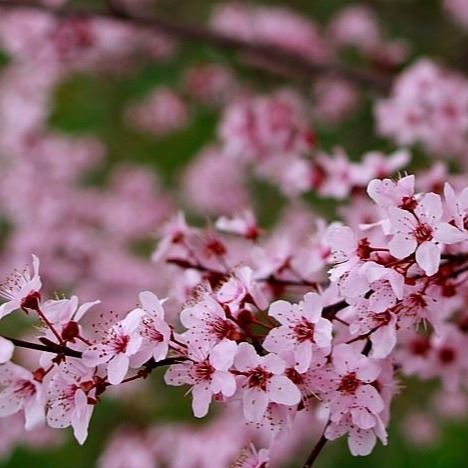 Plum-tree-spring-blossom_-_West_Virginia_-_ForestWander