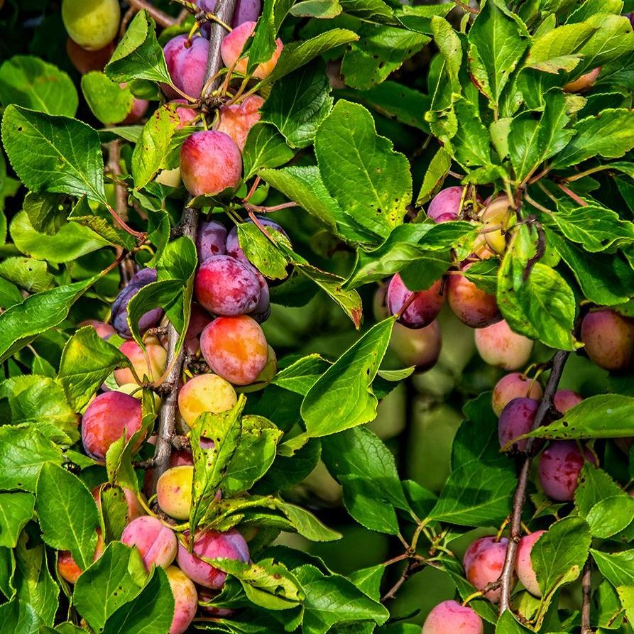 fruit-trees-plusan05g-64_1000
